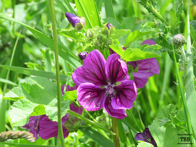 paarsbloem